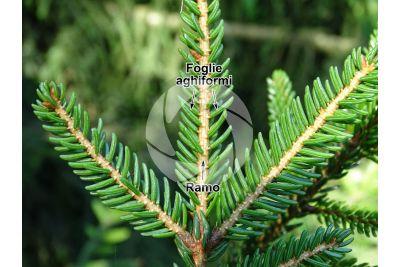 Picea orientalis. Abete del Caucaso. Foglia