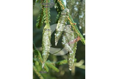 Picea orientalis. Caucasian spruce. Strobilus