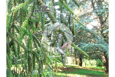 Picea orientalis. Abete del Caucaso. Strobilo