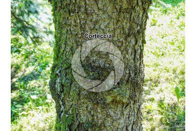 Picea pungens kosteriana hoopsii. Abete delle Montagne Rocciose. Fusto
