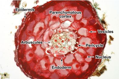 Pinus sp. Root. Endotrophic mycorrhiza. Transverse section. 125X