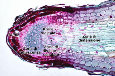 Pinus sp. Radice. Sezione longitudinale. 250X