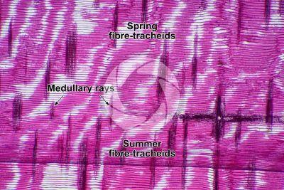 Pinus sp. Pine. Radial longitudinal section. 32X