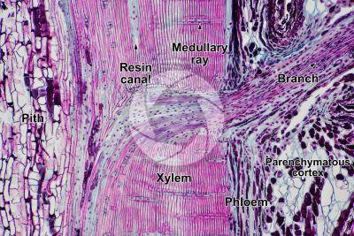 Pinus sp. Pine. Radial longitudinal section. 64X
