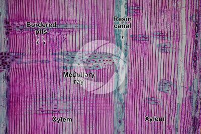 Pinus sp. Pine. Radial longitudinal section. 125X
