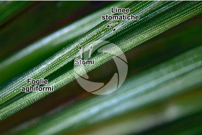 Pinus sp. Foglia