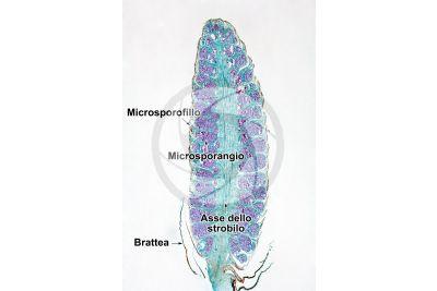 Pinus sp. Strobilo maschile. Sezione longitudinale. 5X