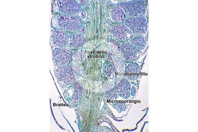 Pinus sp. Strobilo maschile. Sezione longitudinale. 10X