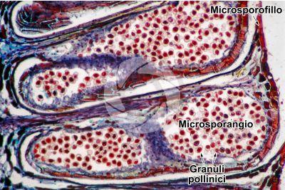 Pinus sp. Strobilo maschile. Sezione longitudinale. 64X