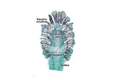 Pinus sp. Strobilo femminile. Sezione longitudinale. 10X