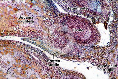 Pinus sp. Strobilo femminile. Sezione longitudinale. 64X