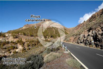 Pinus canariensis. Pino delle Canarie