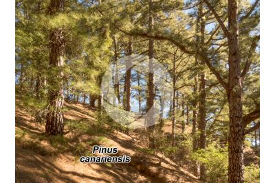 Pinus canariensis. Canary Island pine. Stem