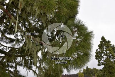 Pinus canariensis. Canary Island pine. Leaf