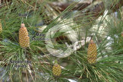 Pinus canariensis. Canary Island pine. Male strobilus