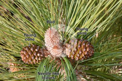 Pinus canariensis. Canary Island pine. Strobilus