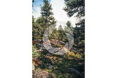 Pinus cembra. Swiss pine