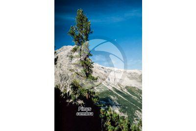 Pinus cembra. Pino cembro