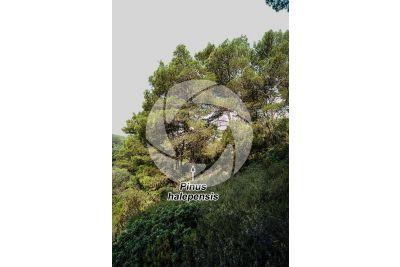 Pinus halepensis. Aleppo pine