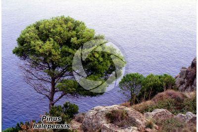 Pinus halepensis. Pino d'Aleppo