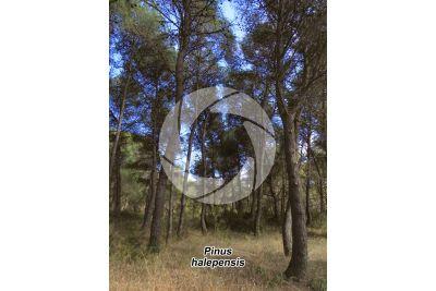 Pinus halepensis. Aleppo pine. Stem