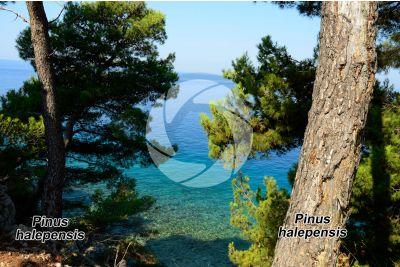 Pinus halepensis. Pino d'Aleppo. Fusto