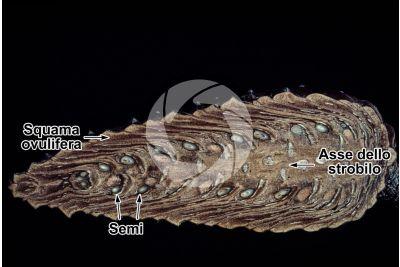 Pinus halepensis. Pino d'Aleppo. Strobilo. Sezione longitudinale