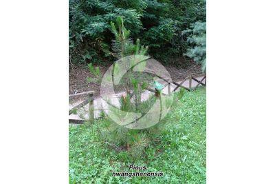Pinus hwangshanensis. Pino di Huangshan