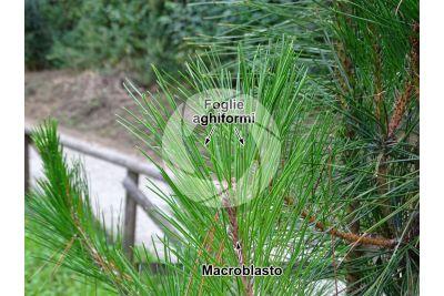 Pinus hwangshanensis. Pino di Huangshan. Foglia