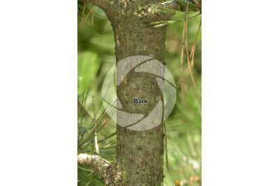 Pinus leucodermis. Bosnian pine. Stem