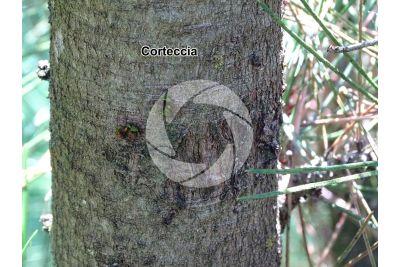 Pinus leucodermis. Pino loricato. Fusto