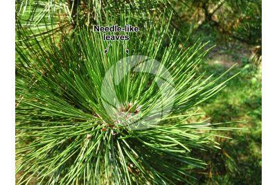 Pinus leucodermis. Bosnian pine. Leaf