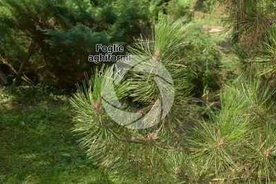 Pinus leucodermis. Pino loricato. Foglia