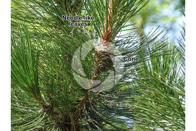 Pinus leucodermis. Bosnian pine. Strobilus