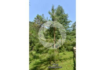 Pinus montezumae. Montezuma pine
