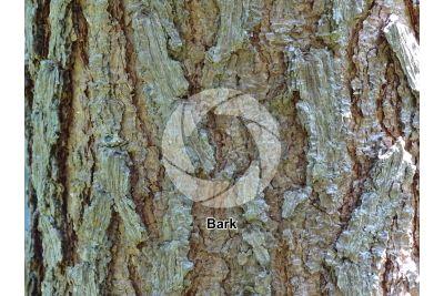 Pinus montezumae. Montezuma pine. Stem
