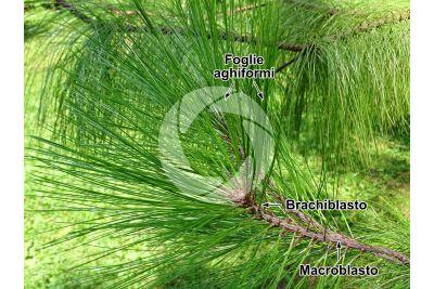 Pinus montezumae. Pino di Montezuma. Foglia