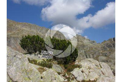 Pinus mugo. Mountain pine