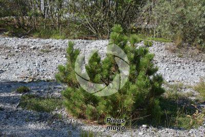 Pinus mugo. Pino mugo