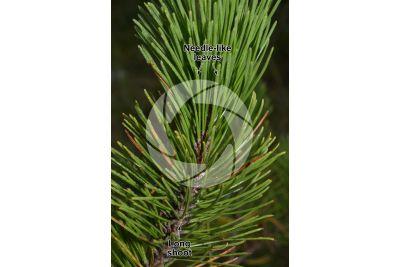 Pinus mugo. Mountain pine. Leaf