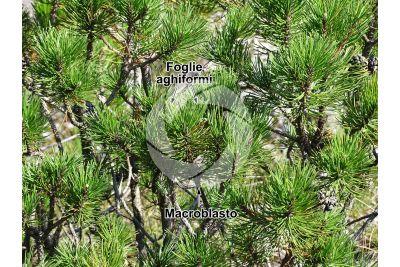 Pinus mugo. Pino mugo. Foglia