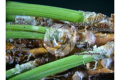 Pinus mugo. Pino mugo. Foglia. 5X