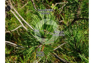 Pinus mugo. Mountain pine. Female strobilus