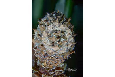 Pinus mugo. Mountain pine. Female strobilus. 5X