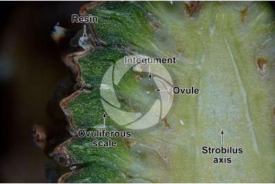 Pinus mugo. Mountain pine. Female strobilus. Longitudinal section. 15X