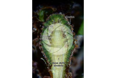 Pinus mugo. Pino mugo. Strobilo femminile. Sezione longitudinale. 5X