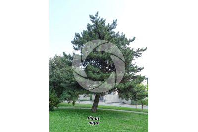 Pinus nigra. Black pine