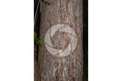 Pinus nigra. Black pine. Stem