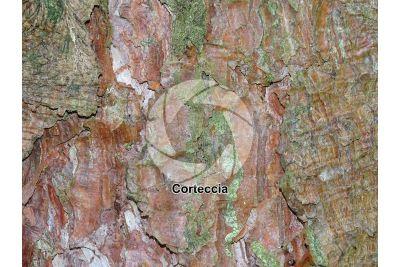 Pinus nigra. Pino nero. Fusto