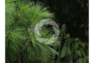 Pinus nigra. Pino nero. Foglia